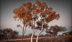 Karijini gum tree at sunset