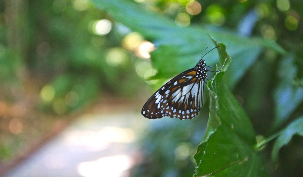 A butterfly in Darwin's George Brown Botanic Gardens