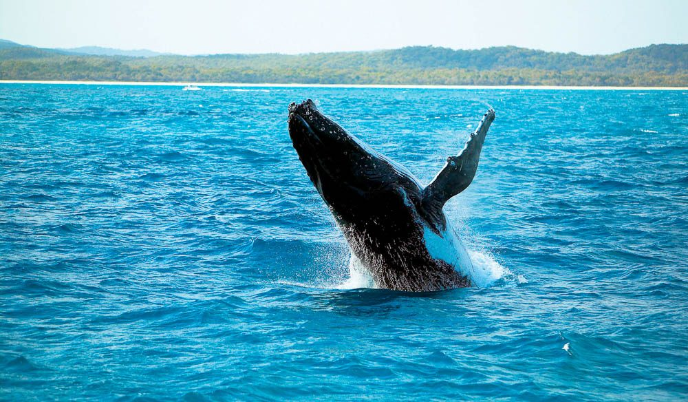 Jump shot: Hervey Bay whale watching