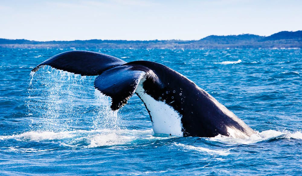 Majestic: Hervey Bay whale watching