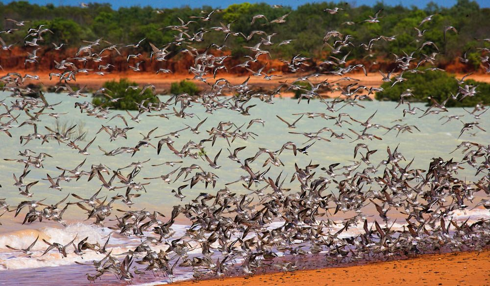 Birds mid-flight, Crab Creek, Roebuck Bay