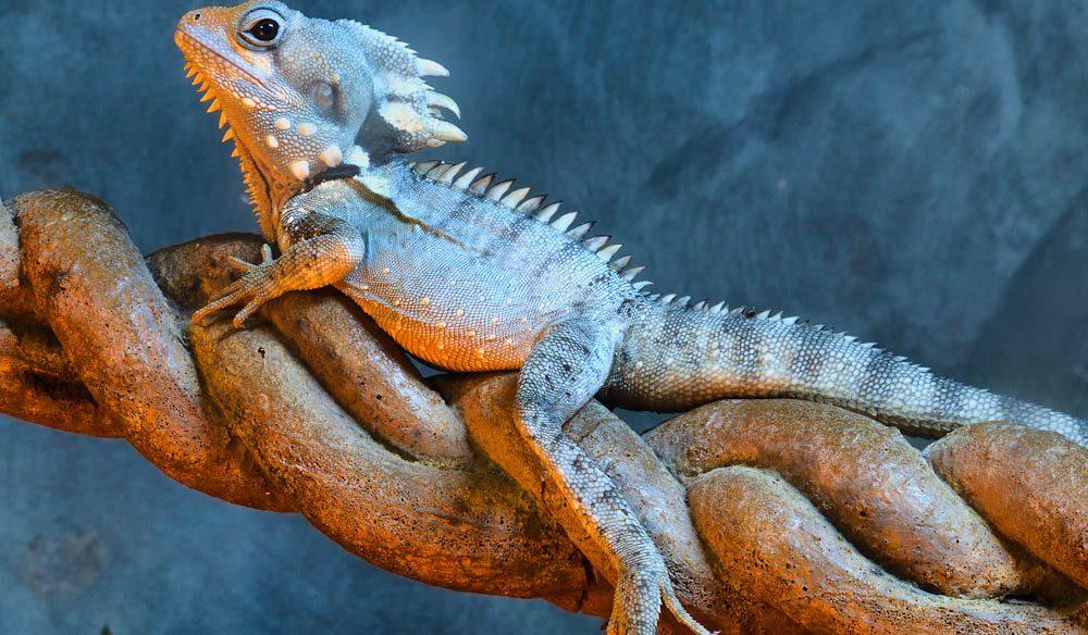 A Mossman Gorge local: a Boyd's Forest Dragon. Daintree rainforest.