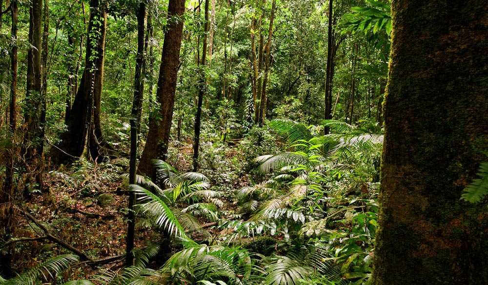 The ancient ferns of Mossman Gorge in the Daintree.