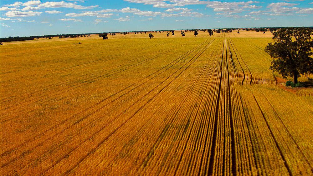 Crisp straight wheat field lines, thanks to GPS.