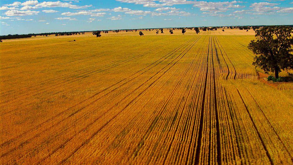 Crisp straight wheat field lines, thanks to GPS.