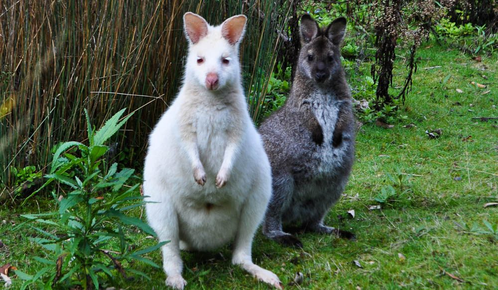 A 'leucistic' wallaby and his/her mate: Made on Bruny Island, Tasmania.