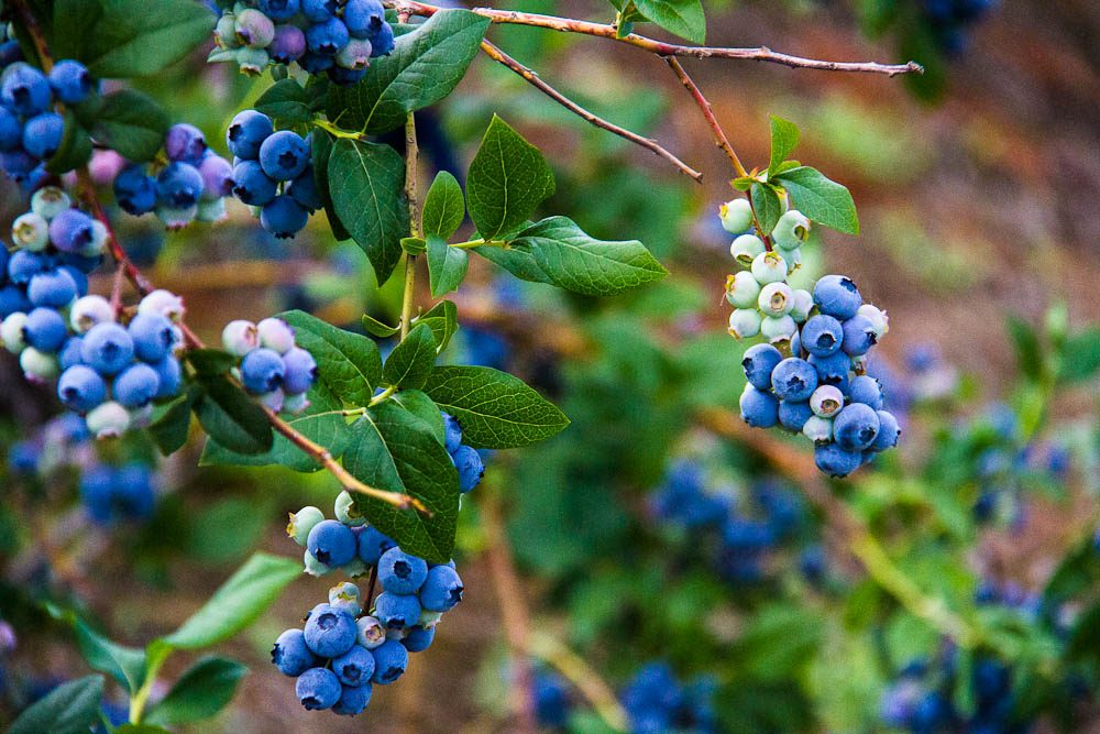 Blueberries in season: On the trail in Gippsland.