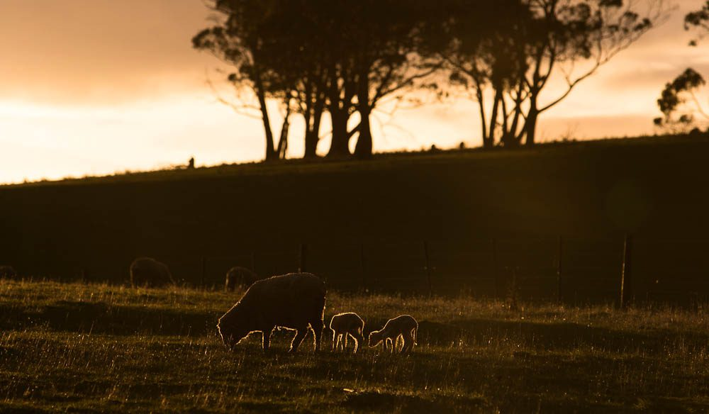 The locals enjoy a feed at sunset: Bruny Island.