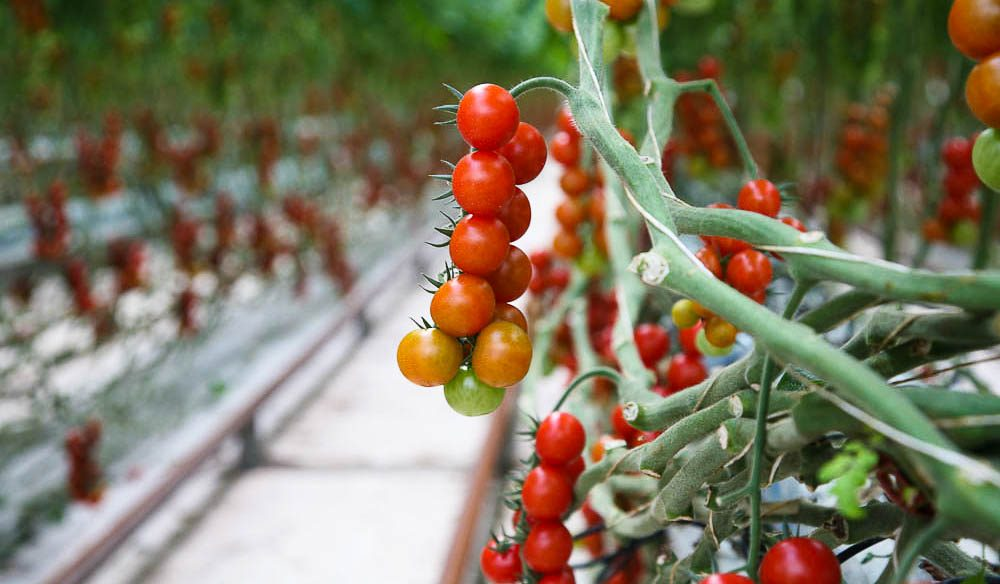 Off the vines: Cherry tomatoes at Noosa Reds are not picked until they're fully ripe.