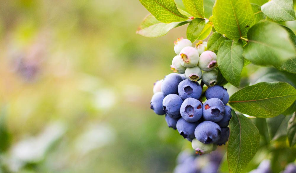 Feeling blue? - Bumberrah Blueberry farm provides an assortment of sweet pick-me-ups.
