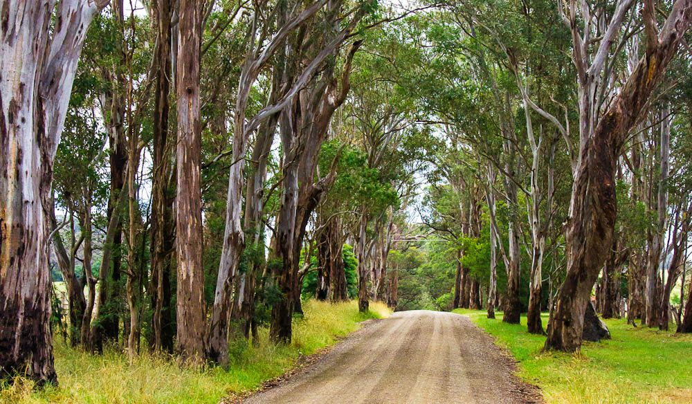 Emerald arches: the Gippsland Rail Trail brushes through native gums.