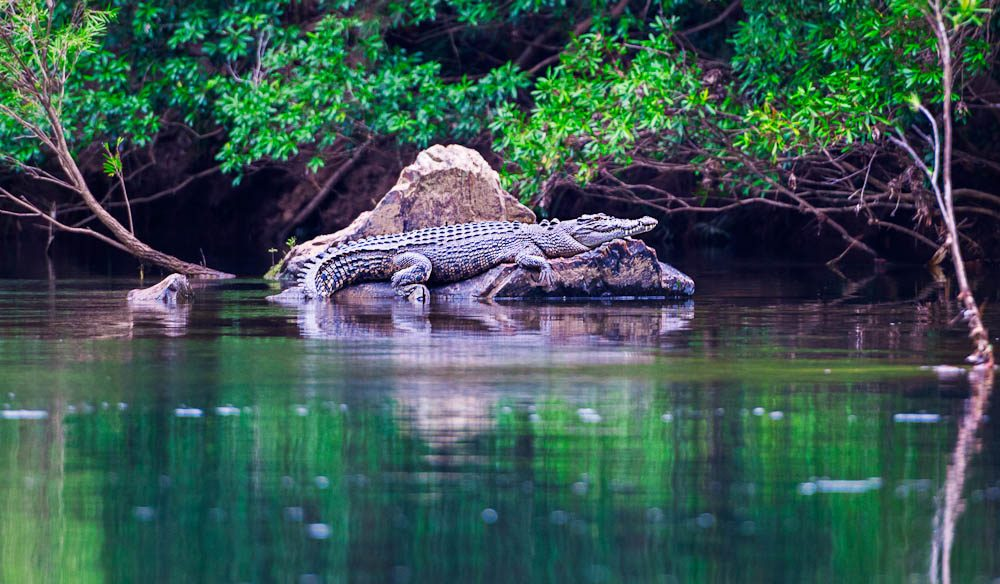 Cranky croc - One of the Daintree's common critters.