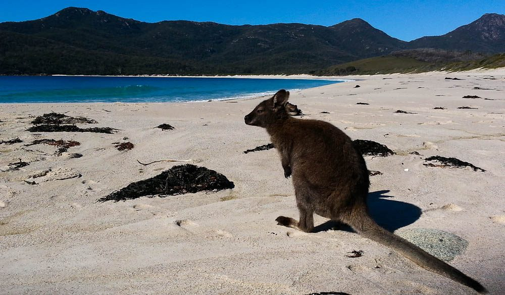 Beach wallaby: Wineglass Bay on Le Pique Nique walk (photo: Ghislaine Sweet).