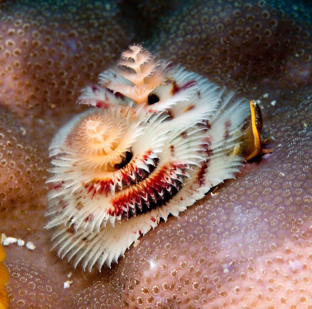 'Christmas Tree' worms, Rowley Shoals (photo: David Stephens).