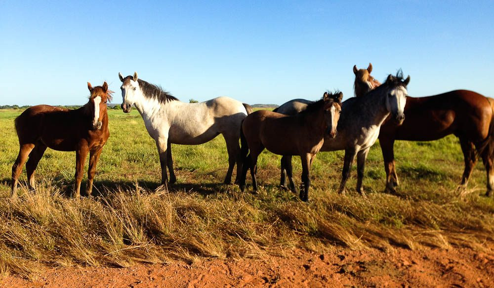 A herd of wild brumbies looks on, as the car drives past in Arnhem Land.