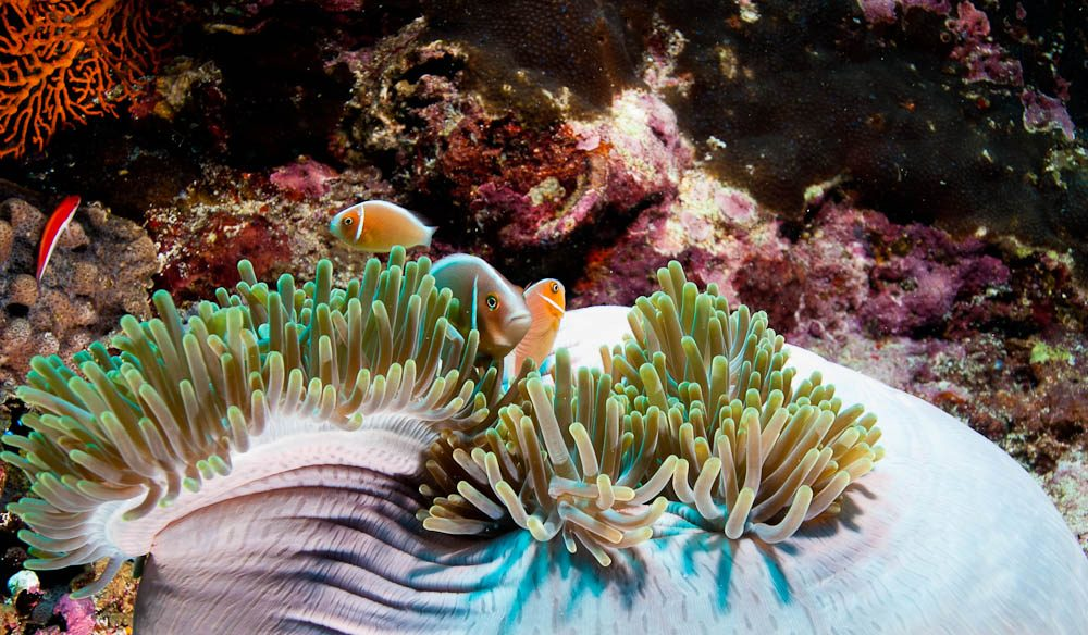 Front row with Nemo: Anemonefish and coral, Rowley Shoals (photo: David Stephens).