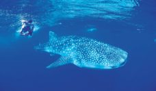 Whale Sharks tend towards shallow water so you can snorkel instead of scuba dive to get close to them.