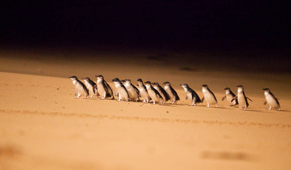 The nightly penguin parade on Phillip Island, Victoria.
