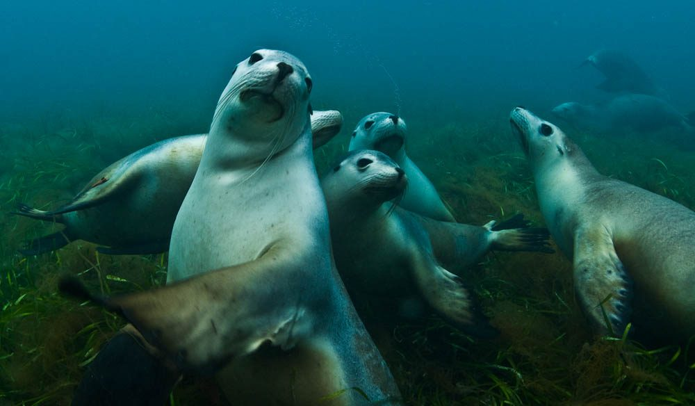 Cute-tea: Sea lions are one reason sharks are attracted to Port Lincoln.