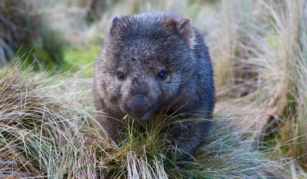Watching wombats: Spend time in Brookfield Conservation Park tracking these fuzzy marsupials