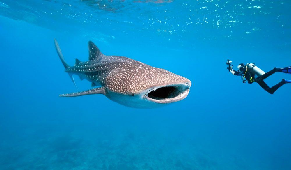 Fish are friends: Volunteering with marine biologists who monitor whale sharks.