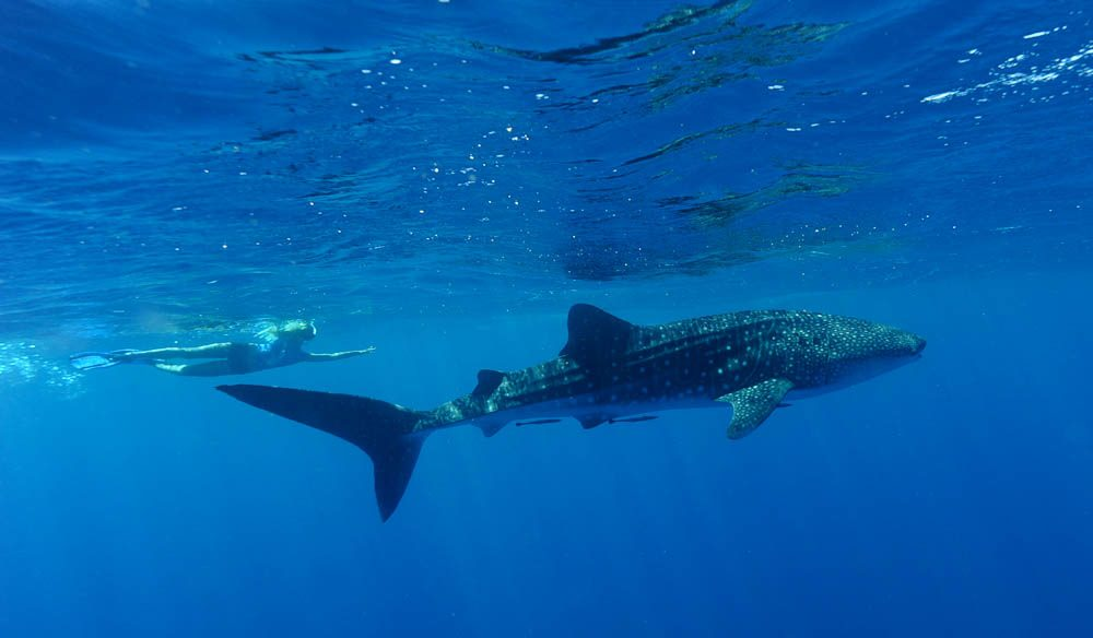 Swimming with a whale shark, Ningaloo Marine Park (Credit: Australia's Coral Coast).