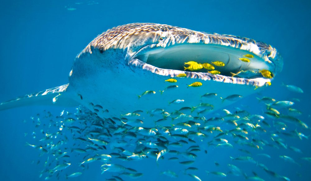 The whale shark in the world's largest fish, growing up to 18 metres in length.