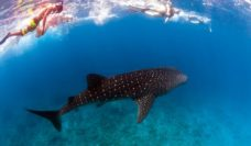 Swimming with Ningaloo's whale sharks (WA) - did anyone say 'bucket list'?