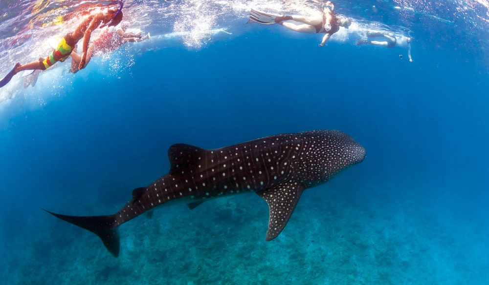 Swimming with Ningaloo's whale sharks (WA) - did anyone say 'bucket list'?