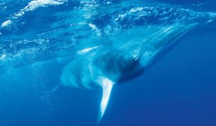 Swim with majestic Minke whales, Great Barrier Reef, Qld.
