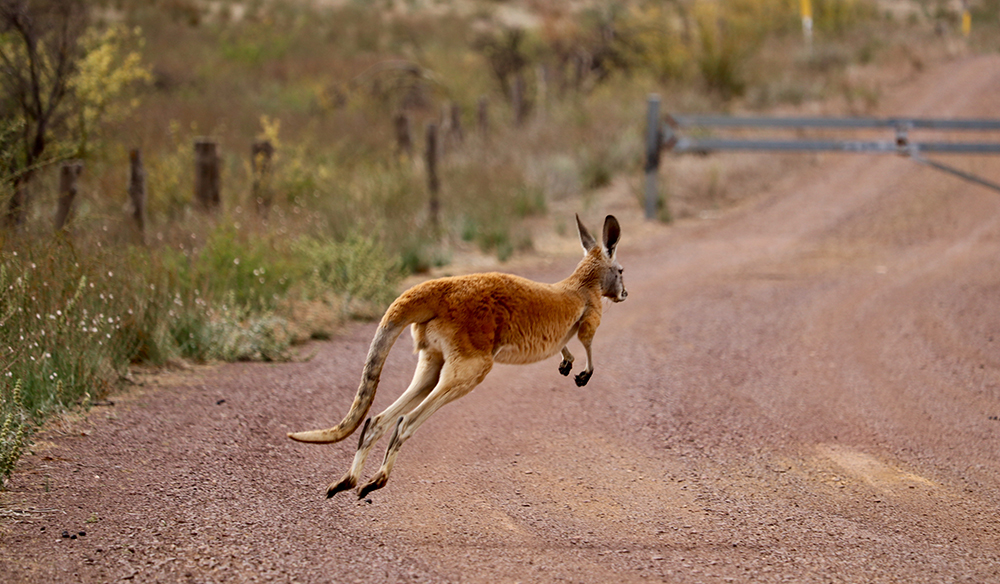 Wild Red kangaroo hopping across gravel road in the outback of South Australia