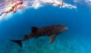 Ningaloo's Reef's majestic whale sharks.