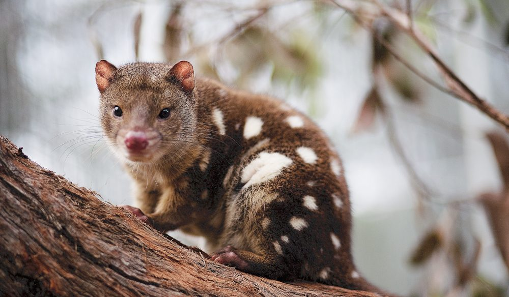 A feel-good escape, helping to save the endangered tiger quoll