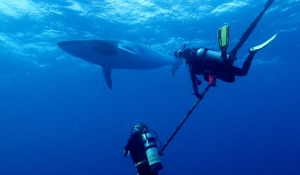 You can't train a wild animal: Divers in awe of an overhead dwarf minke whale.