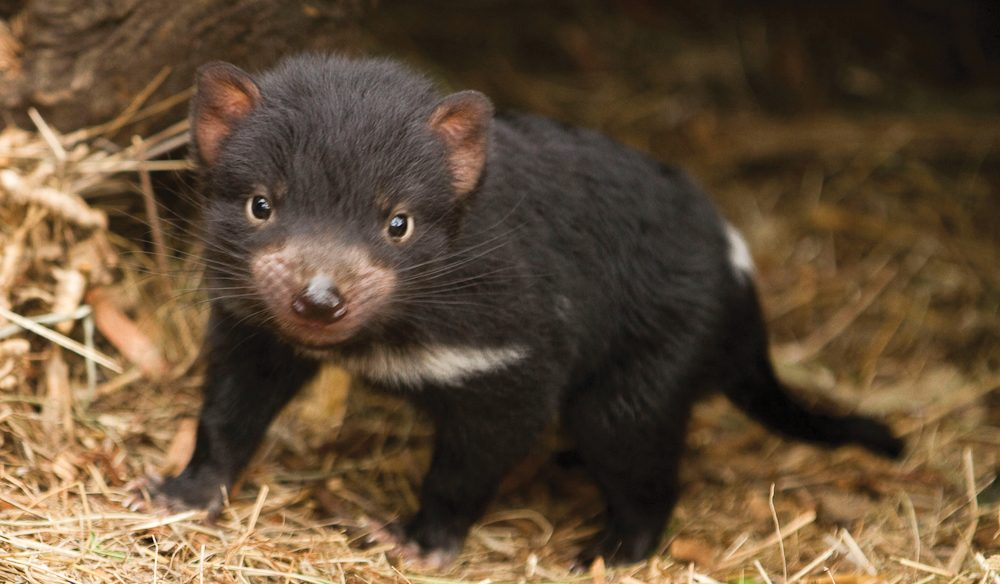 Face to face with Bonorong's baby devils (Tasmania).