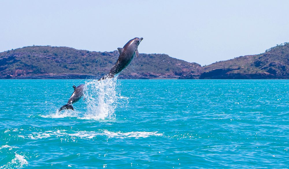 A curious pod of dolphins swim and dance around the inflatable Zodiac boats in between the islands of the Buccaneer Archipelago in the Kimberley
