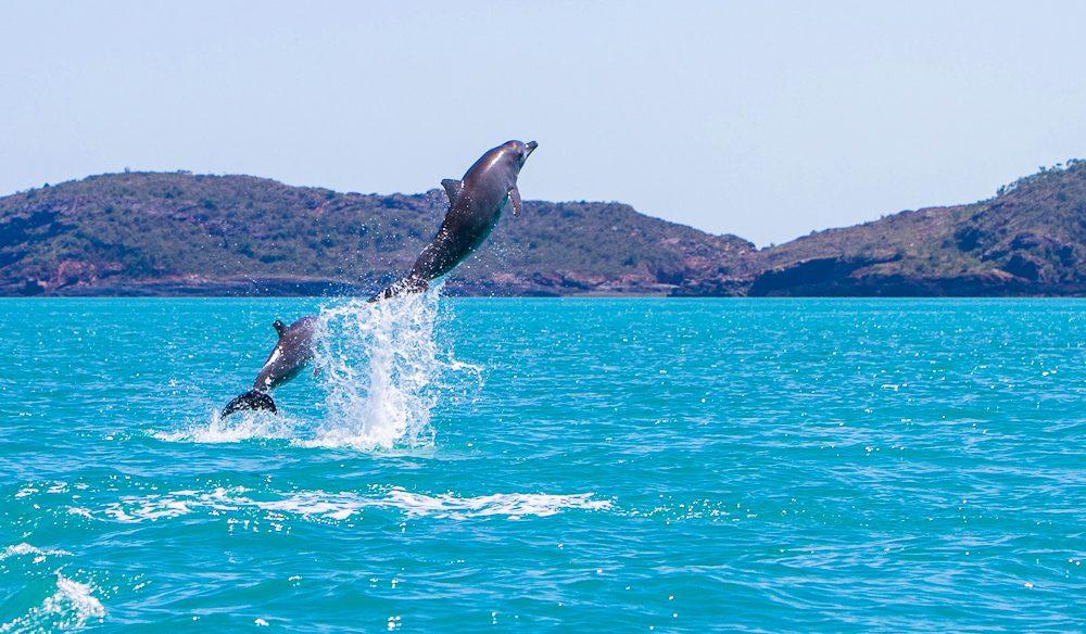 A pod of Bottleneck dolphins dancing in between the islands of the Buccaneer Archipelago in the Kimberley