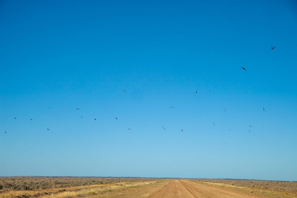 The one thing you never see dead on the road? The crow. They are way too smart for that. This murder of crows circles above the road from Lake Mungo to Ivanhoe. (Photo: Nigel Herbert)
