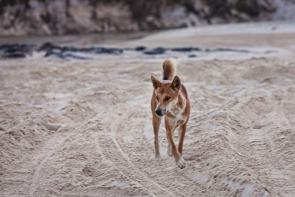 Catch many dingo glimpses (from afar) on Fraser Island.