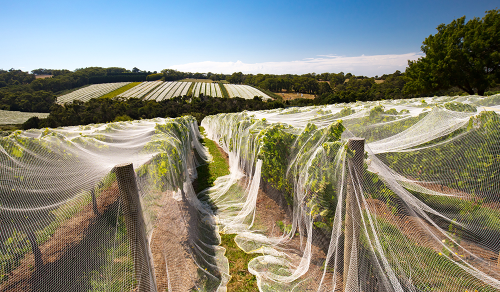 Vines of wine grapes under netting towards end of season