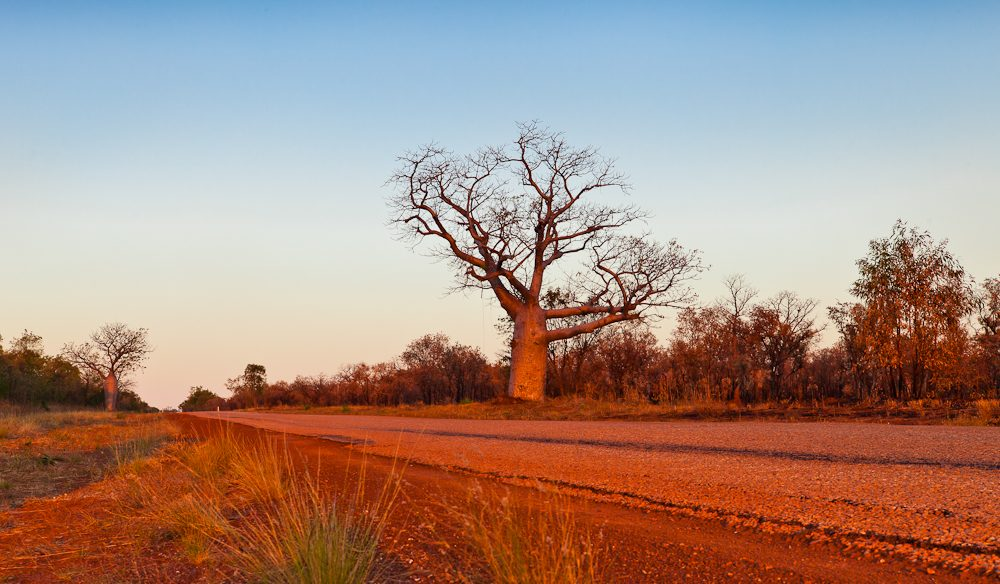 Boab territory: Gibb River Road, The Kimberley.