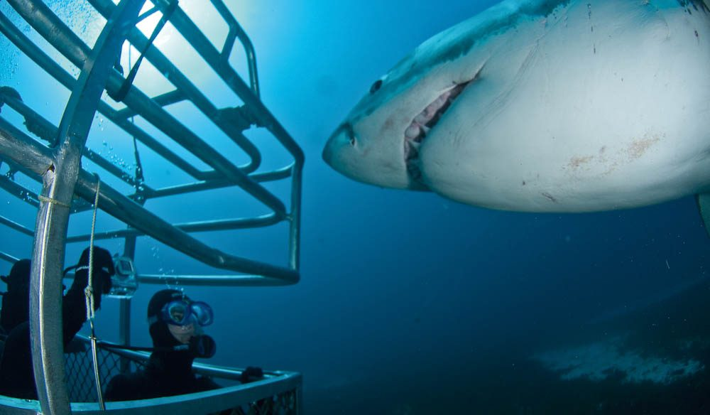 Face to teeth with a Great White (Rodney Fox) off Port Lincoln, SA.