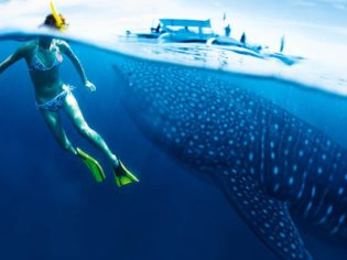 Whale sharks of Ningaloo