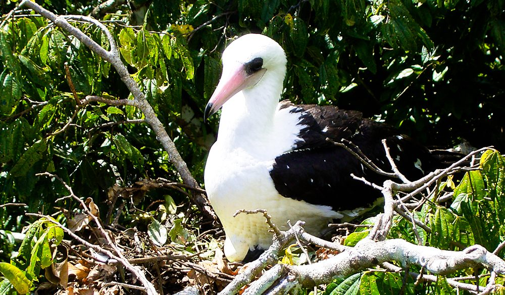 Only about 3000 pairs of the Abbott Boobies – endemic to Christmas Island – are left in the world (image: Parks Australia).