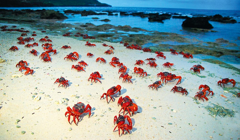 Christmas Island's red crabs on the march.