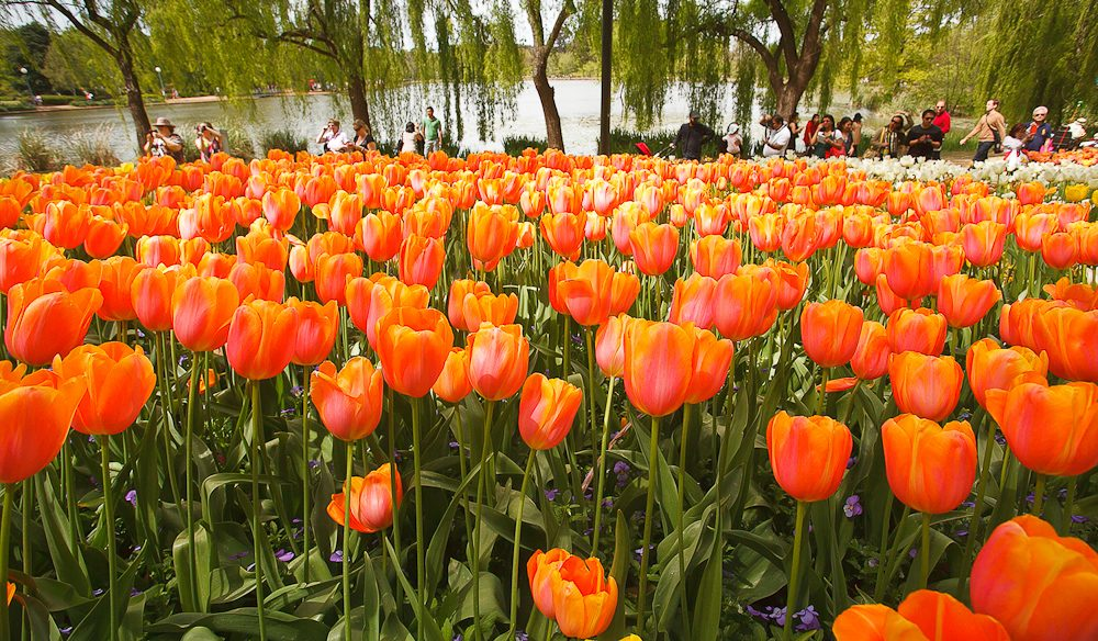 Orange tulips blossoming at Canberra's Commonwealth Park during Floriade 2013