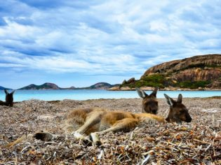 'Roos at rest in Esperance (photo: David Ashley).