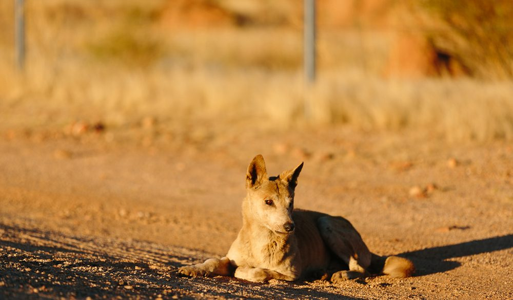 The sunbaking dingo, near Devils Marbles, NT: (photo: www.melissa-findley.com).