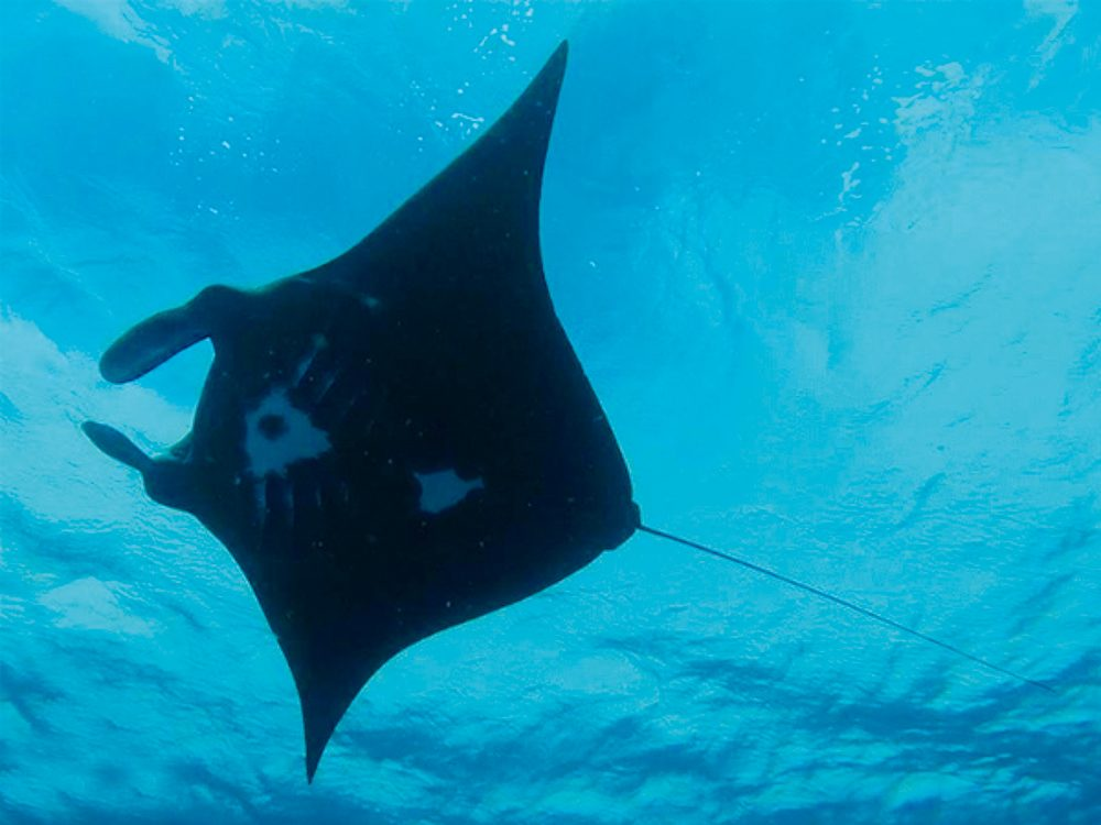 Project Manta: Lady Elliot Island,Queensland.