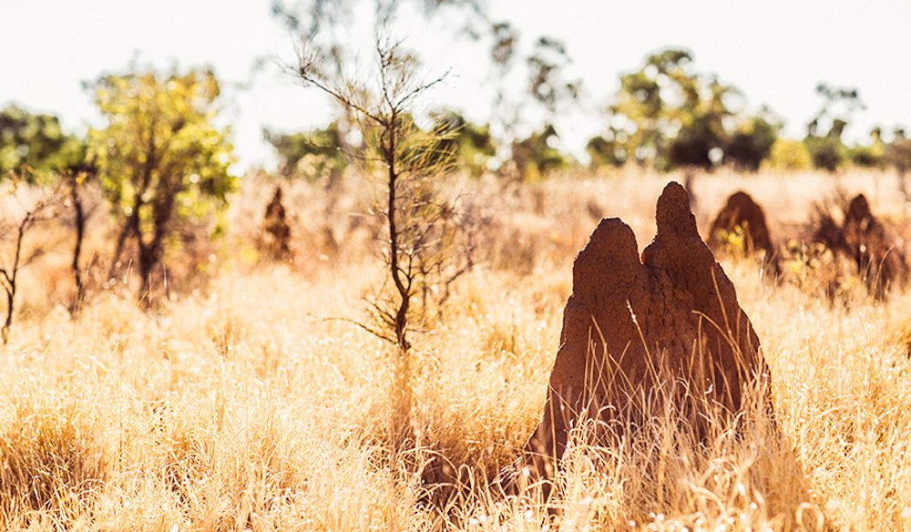 Cathedral termite mounds are part of he NT outback-scape (photo: Elise Hassey).